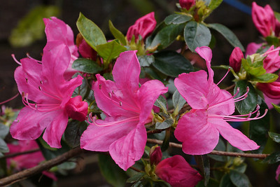 20120819_1025_2727 rhododendron