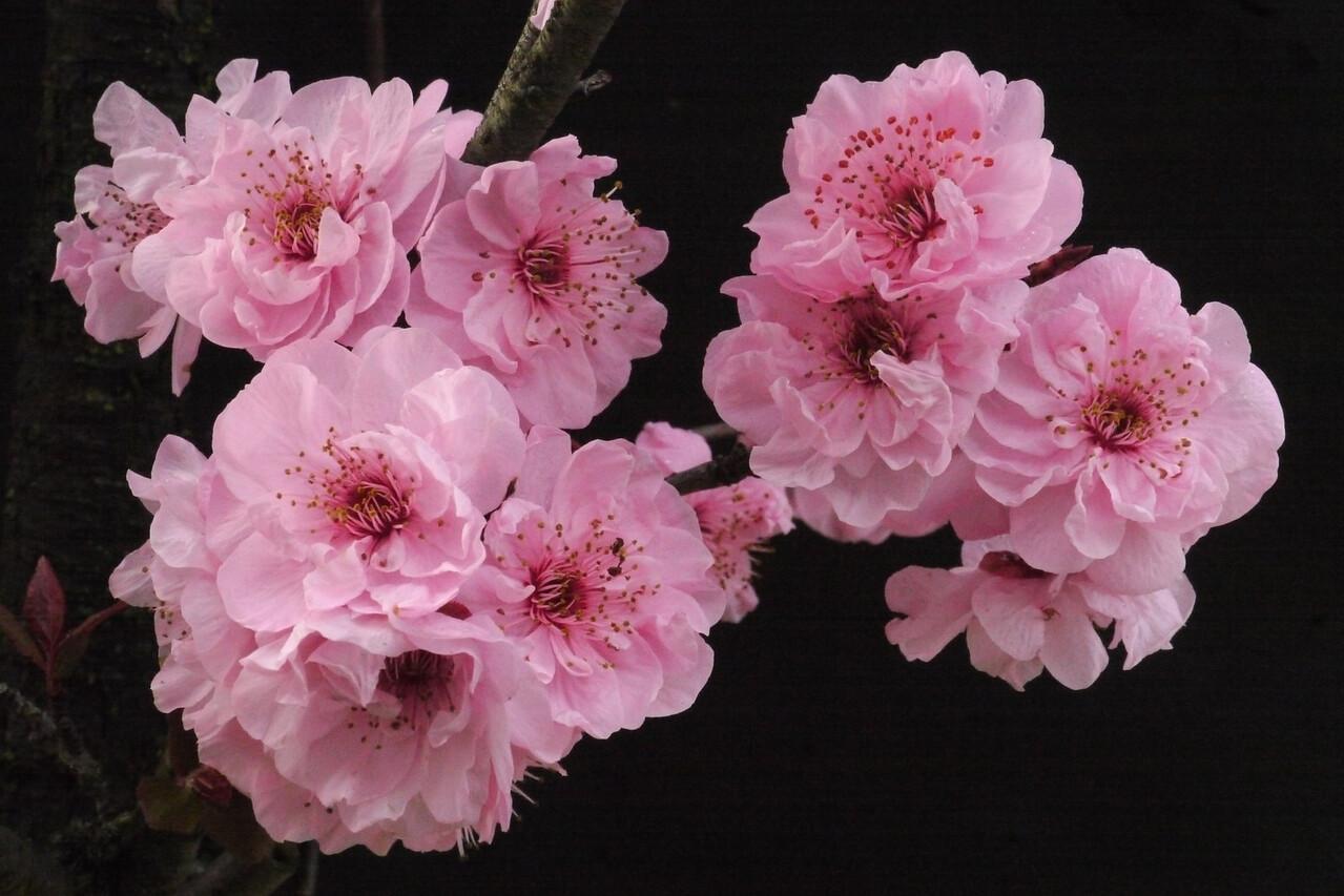 20120812_0901_2350 plum blossom