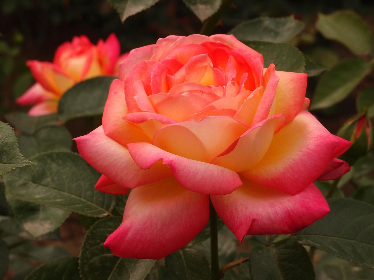 20120513_1349_0381 rose 北京植物园