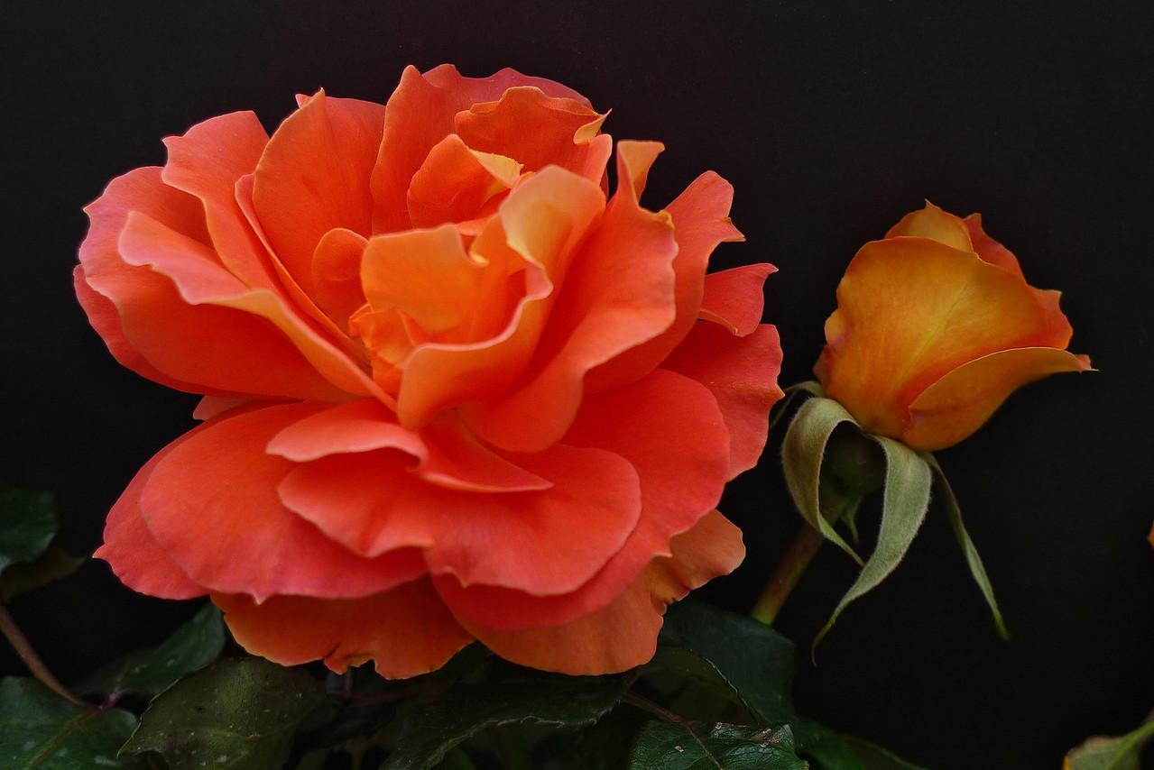 20120419_1155_0558 rose