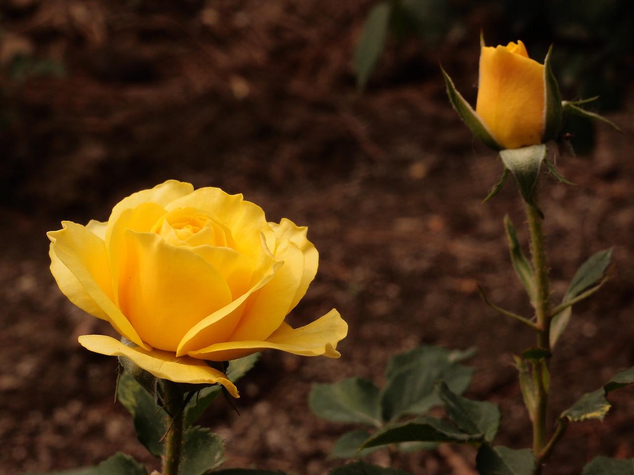 20120513_1339_0350 rose