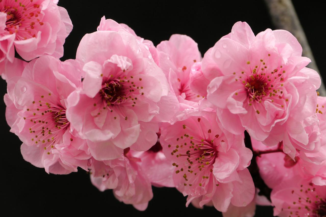 20120810_0952_2156 plum blossoms