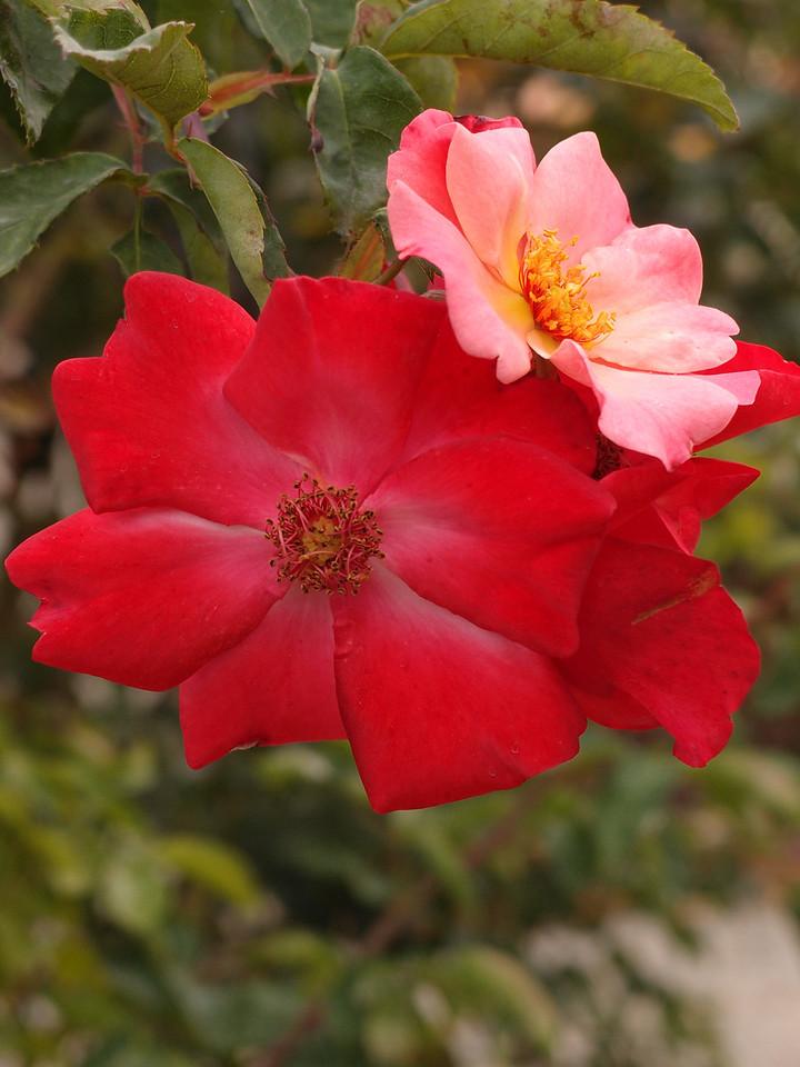20120419_1334_0211 rose