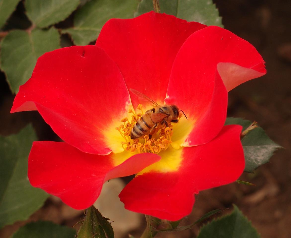 20120513_1342_0359 rose