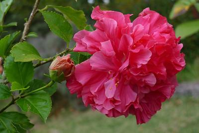 20120416_0848_6395 hibiscus