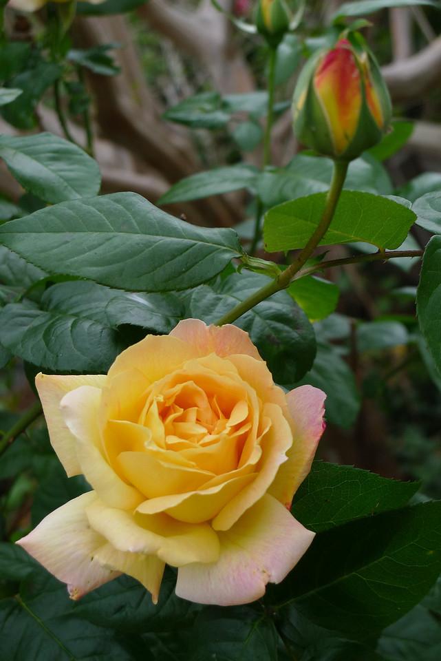 20120416_0953 _6428 rose