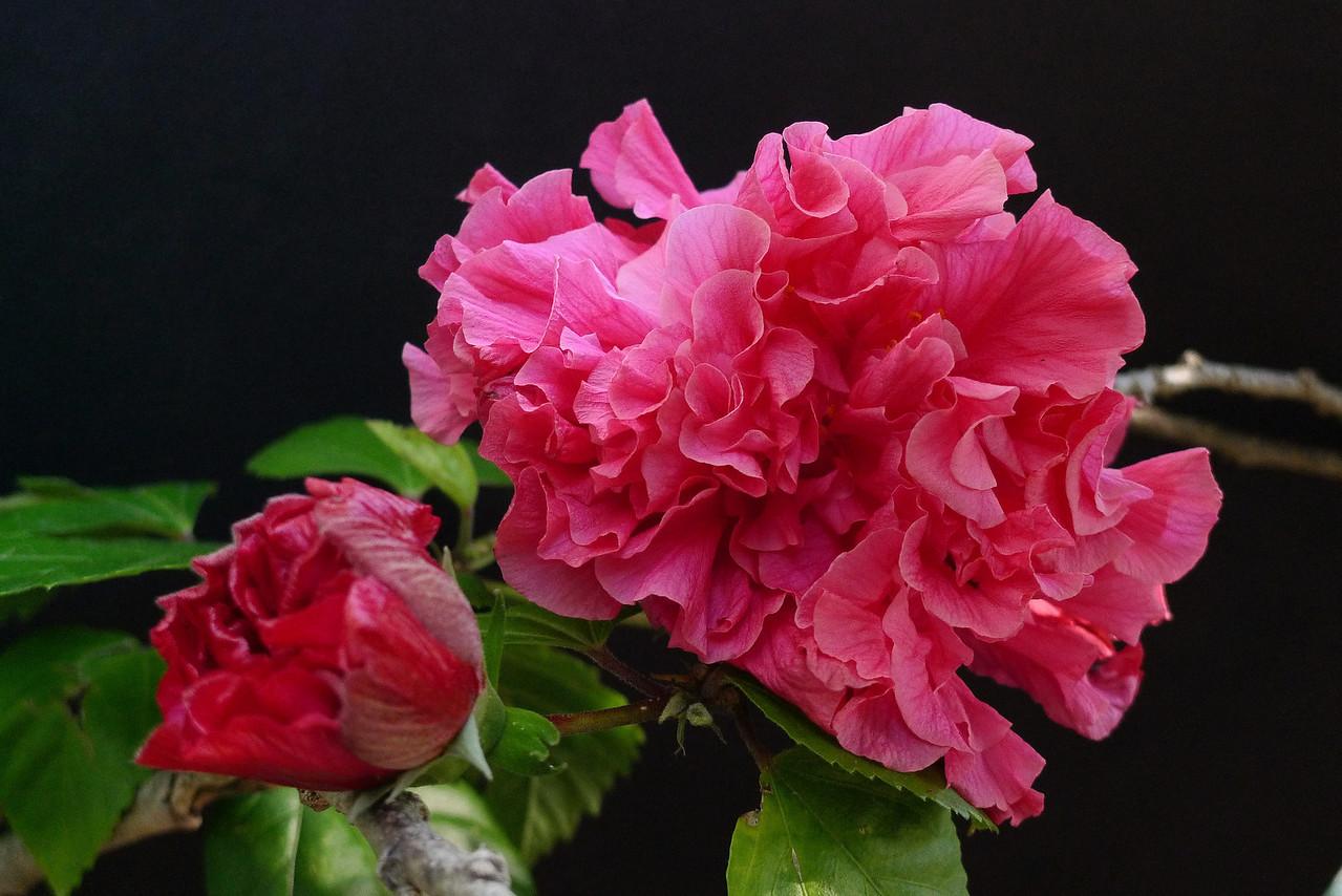 20120417_1555_0652 hibiscus