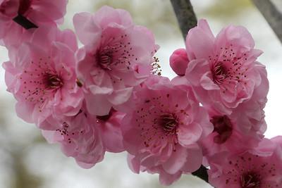 20120809_1001_2087 plum blossom