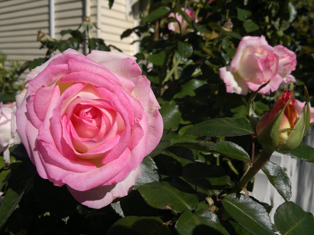 20120412_1043_0242 rose