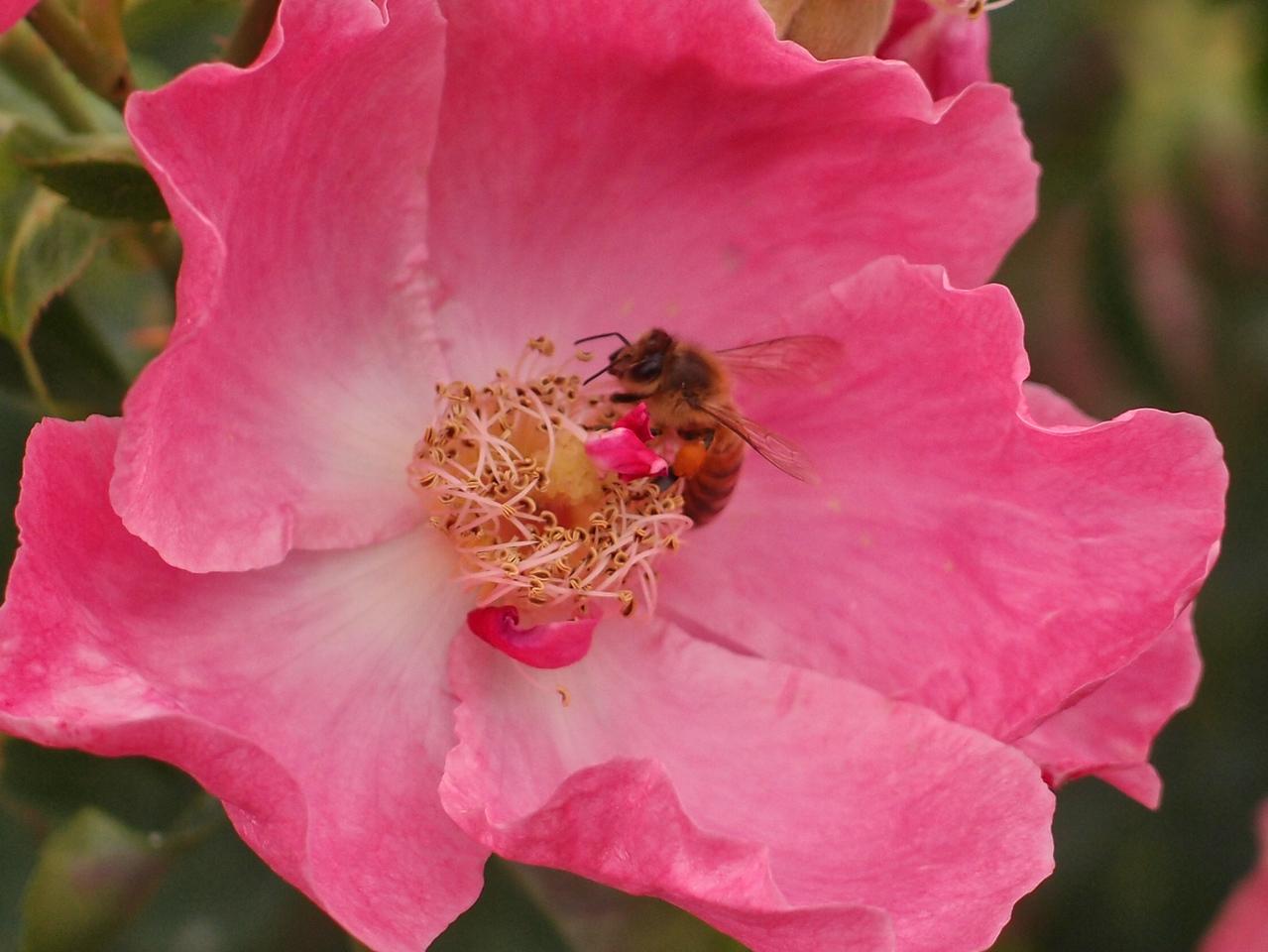 20120419_1335_0213 rose