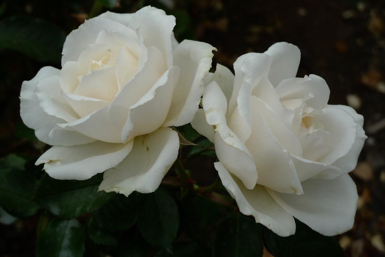 20120419_1123_6539 rose