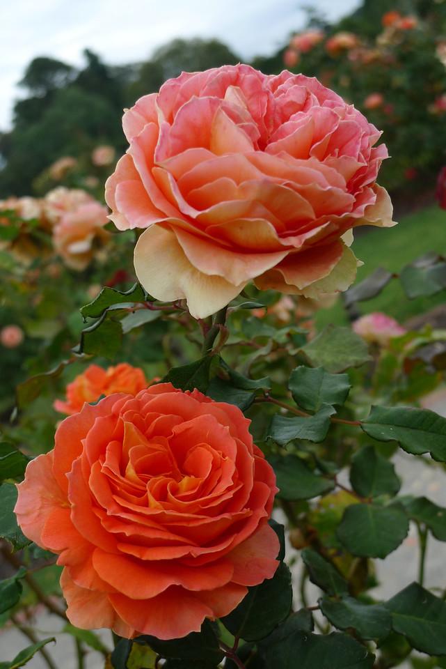 20120419_1131_6542 rose