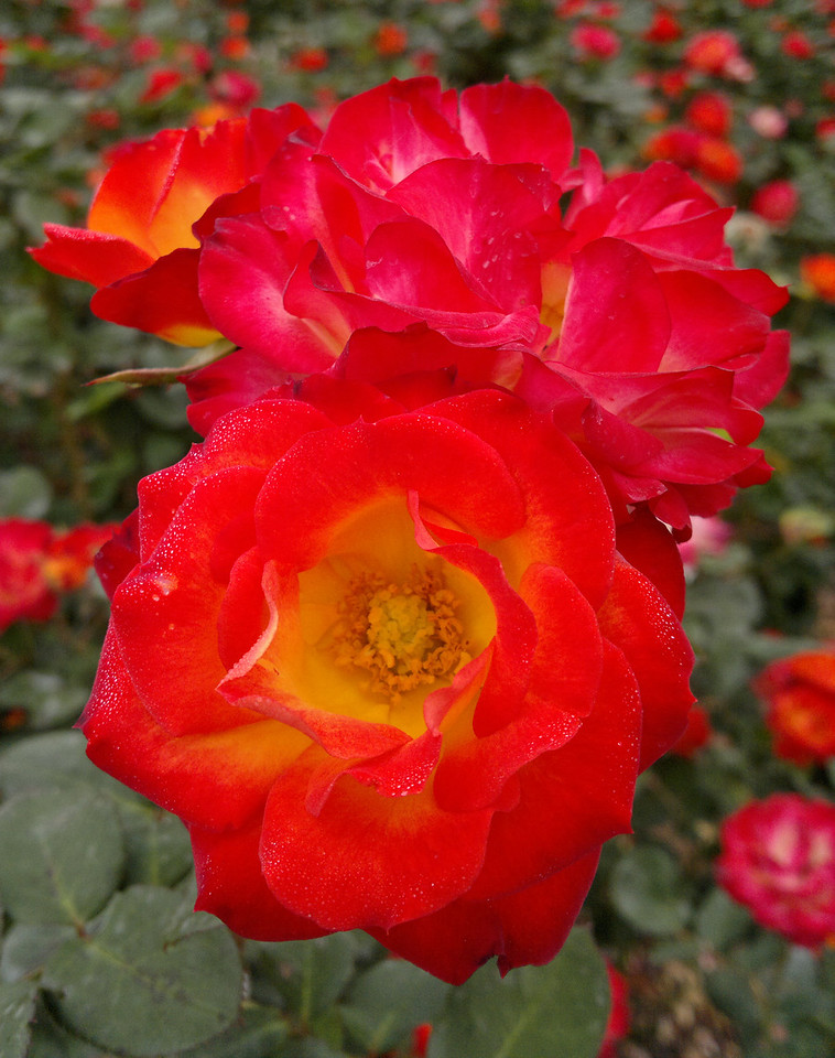 20120419_1118_0268 rose