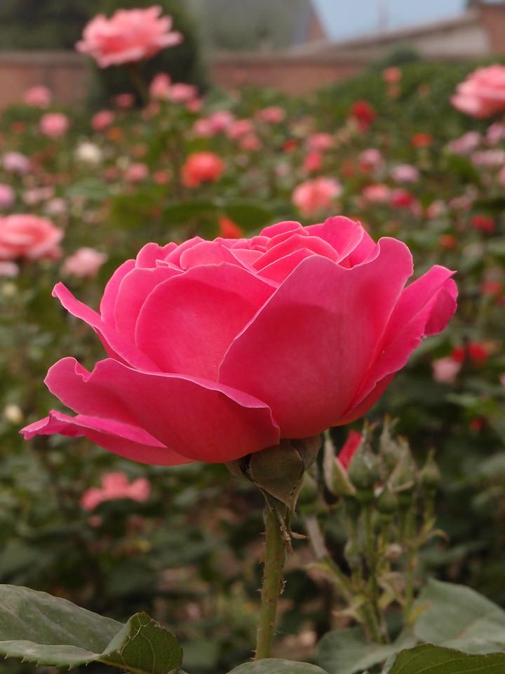 20120513_1043_0263 rose. Beijing (outside by hotel) (Beijing time 0843)