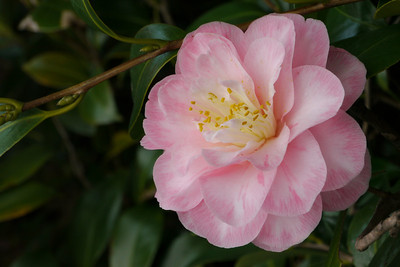 20120804_1113_1894 camellia