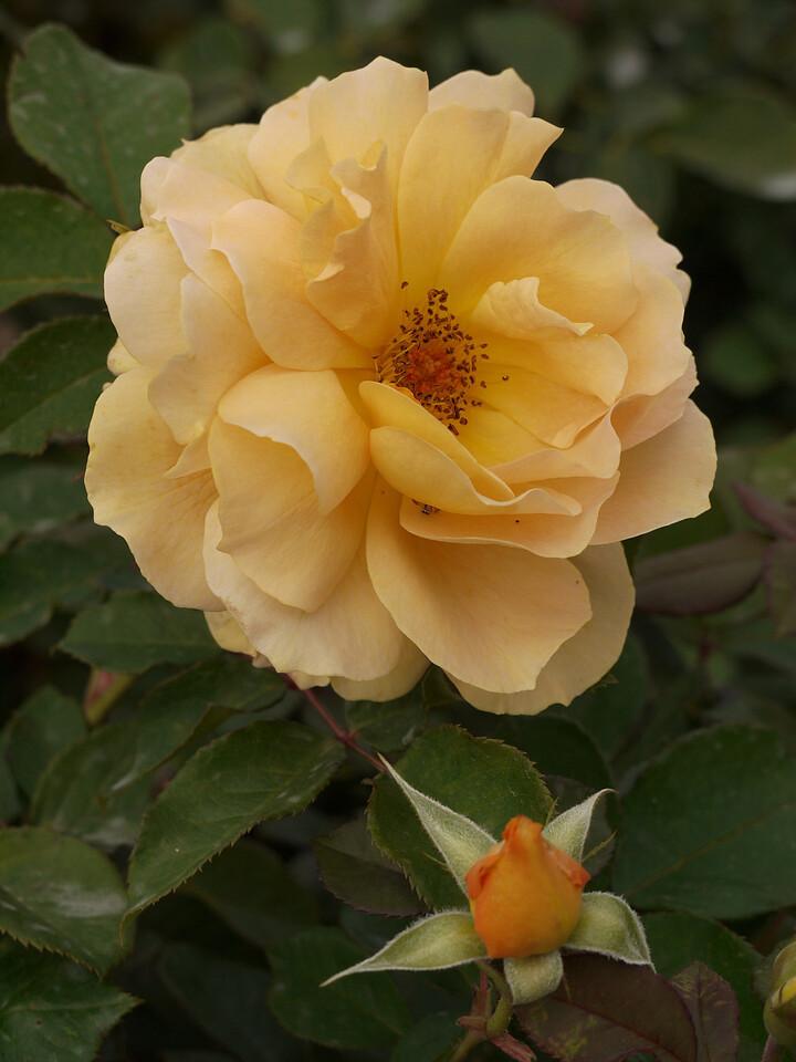 20120419_1217_0074 rose
