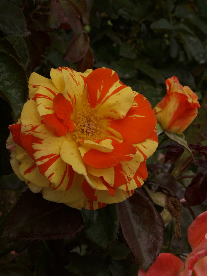 20120419_1417_0107 rose