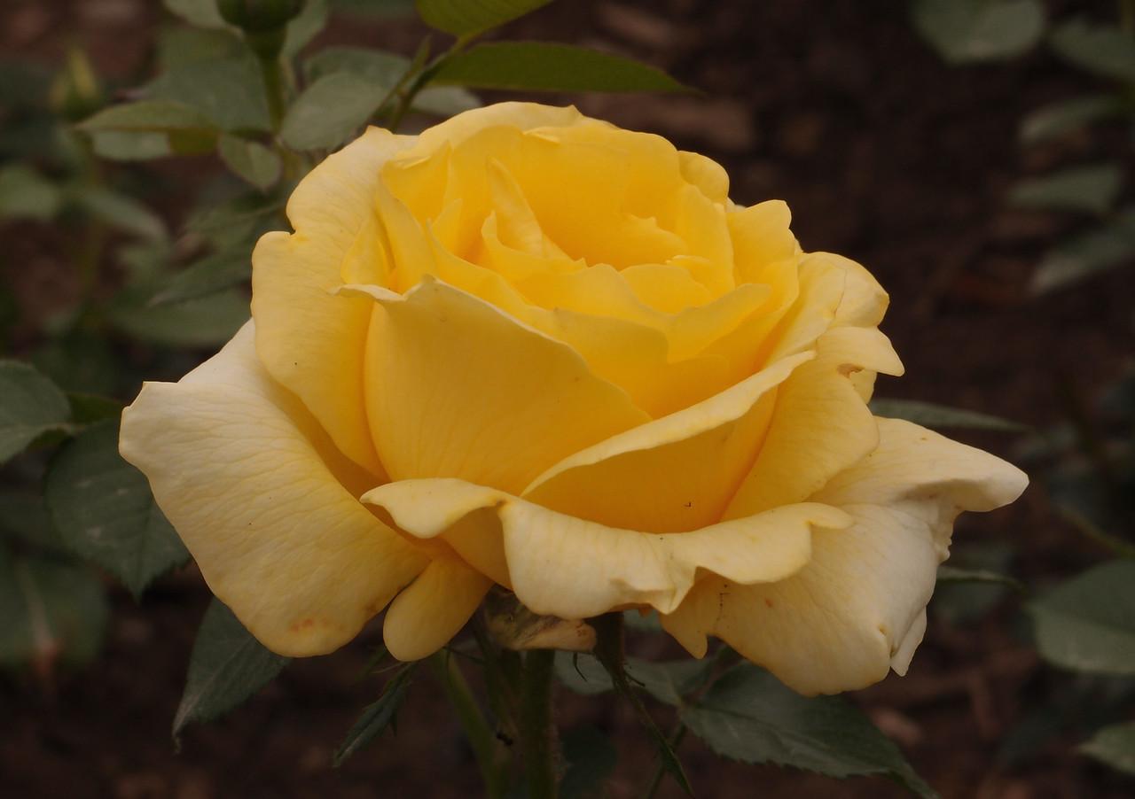 20120513_1321_0333 rose (Beijing Botanical Garden)
