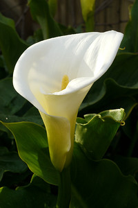 20120815_0837_2520 arum lily