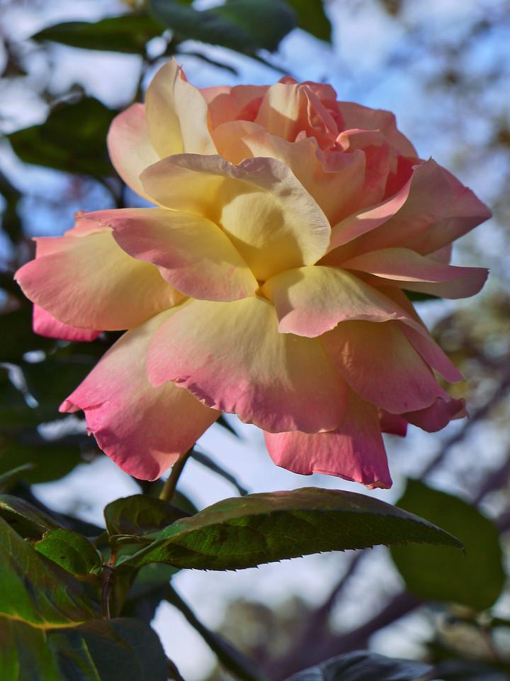 20120414_0907_0036 rose