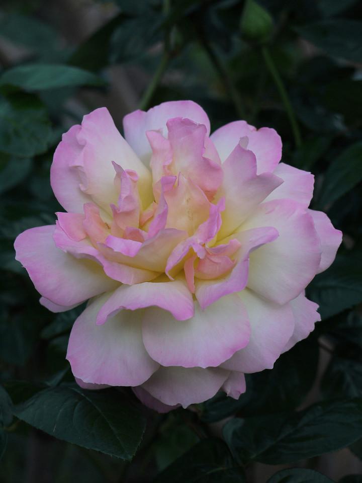 20120415_1727_0044 rose