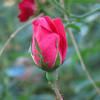 Rose bud in the garden at the front of house.