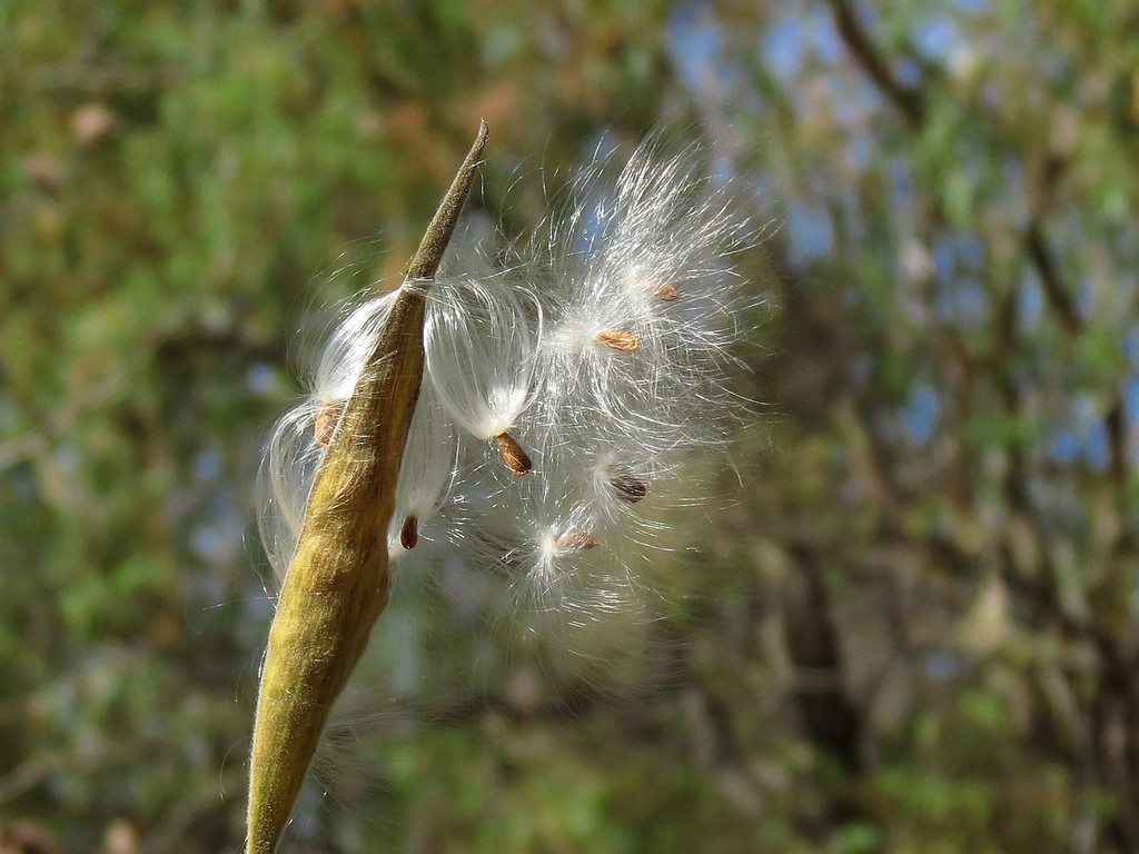The last seed pod of the Asclepias or Butterfly Weed in mid November.