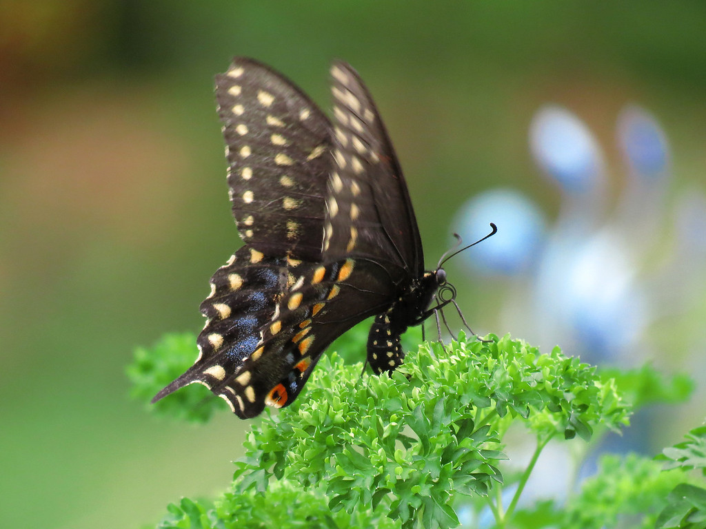 Black Swallowtail butterfly laying eggs on the parsley that Becky planted.