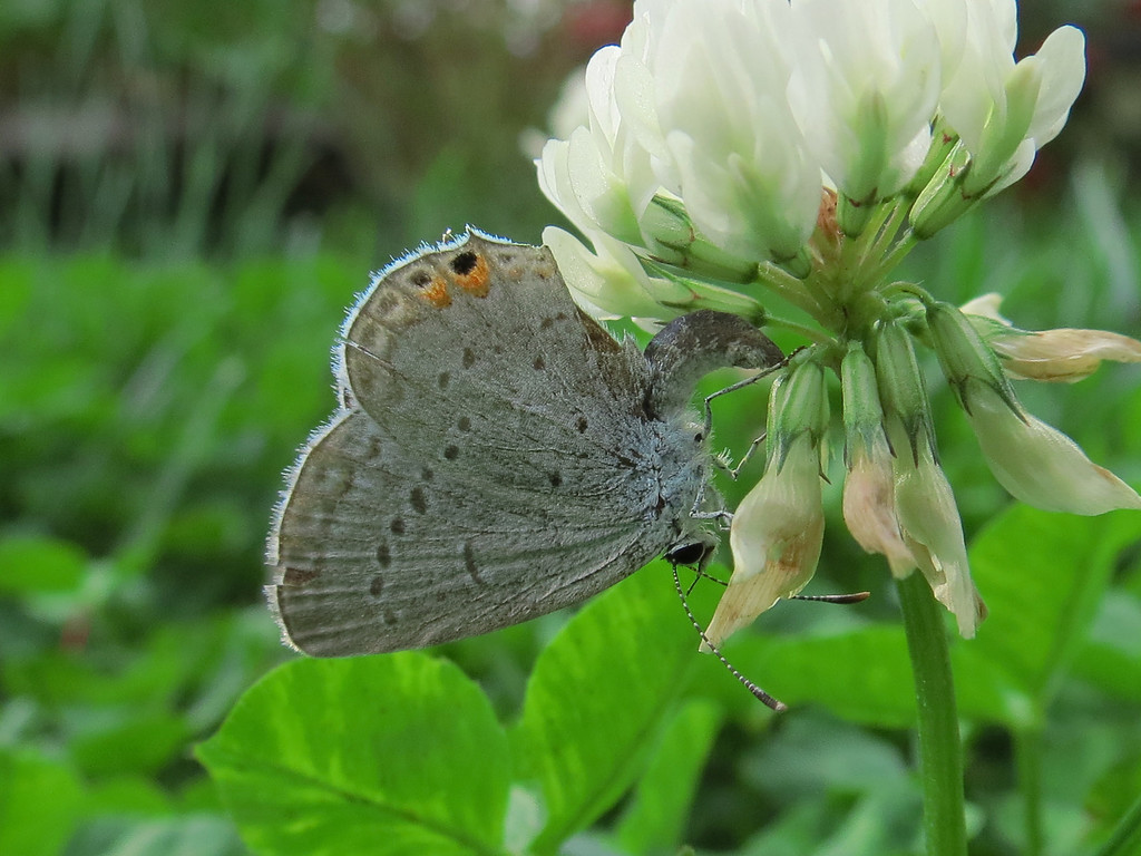 I believe this tiny butterfly is laying eggs on this white clover.