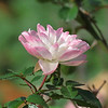Rose on November 6.<br /> This is basically a white rose but the cold has given it rosy cheeks.