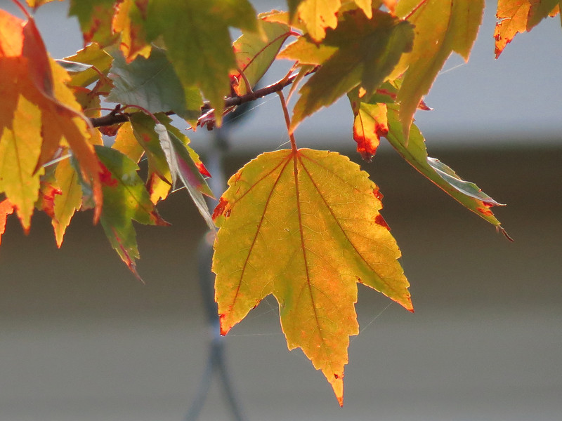 Leaves of the Red Maple on October 31st.