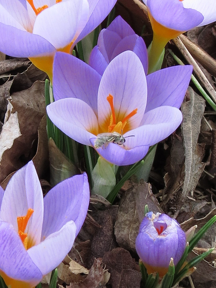 February 2, 2012 -- Groundhog's Day. <br /> This close up shows a light greenish colored bee entering the center flower.