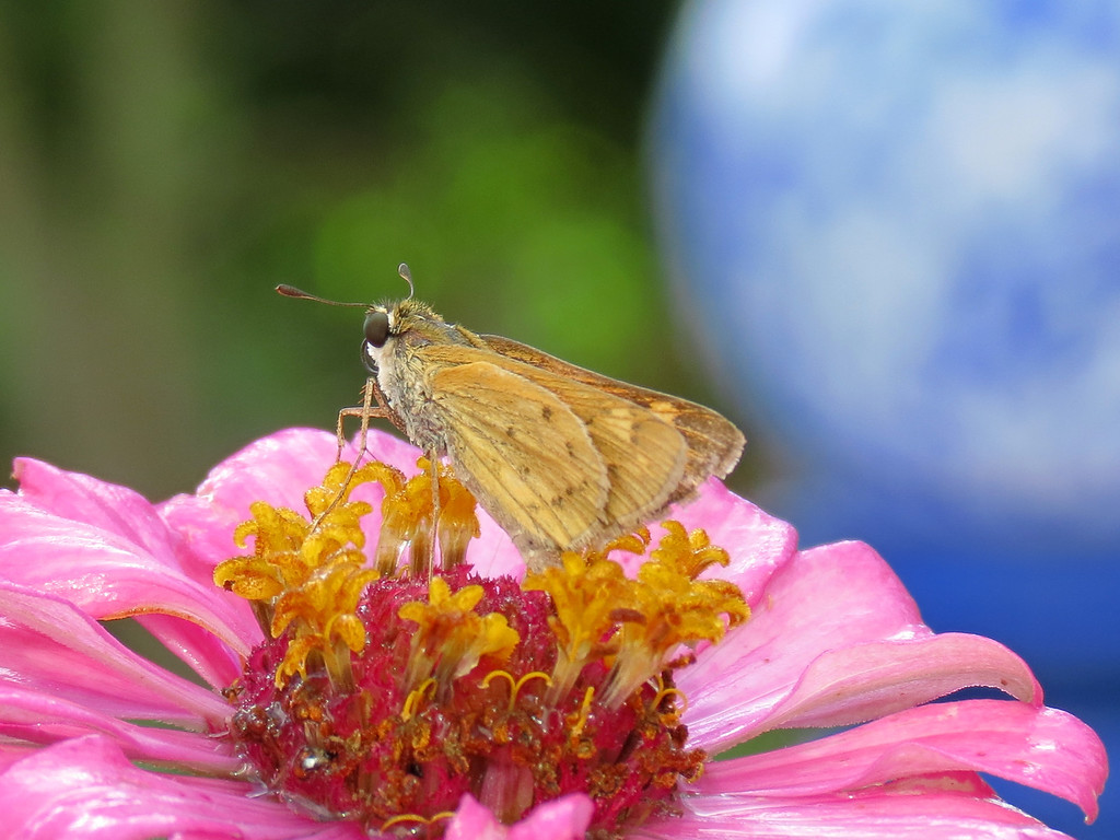 A skipper butterfly on a wet pink Zinnia with <br /> blue gazing globe in the background.