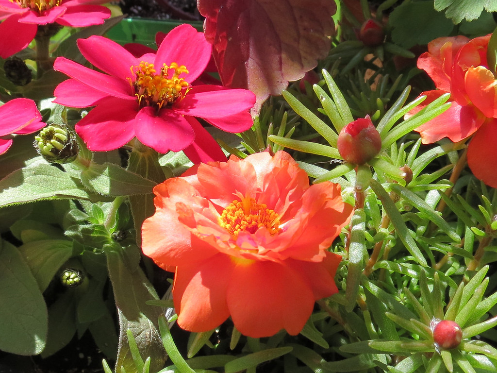 Red zinnia and orange portulaca.
