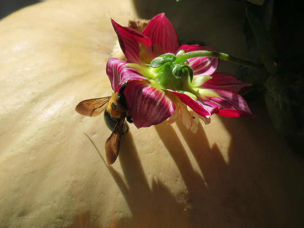 Bumble Bee on a Dahlia flower that overhangs one of Becky's pumpkins.