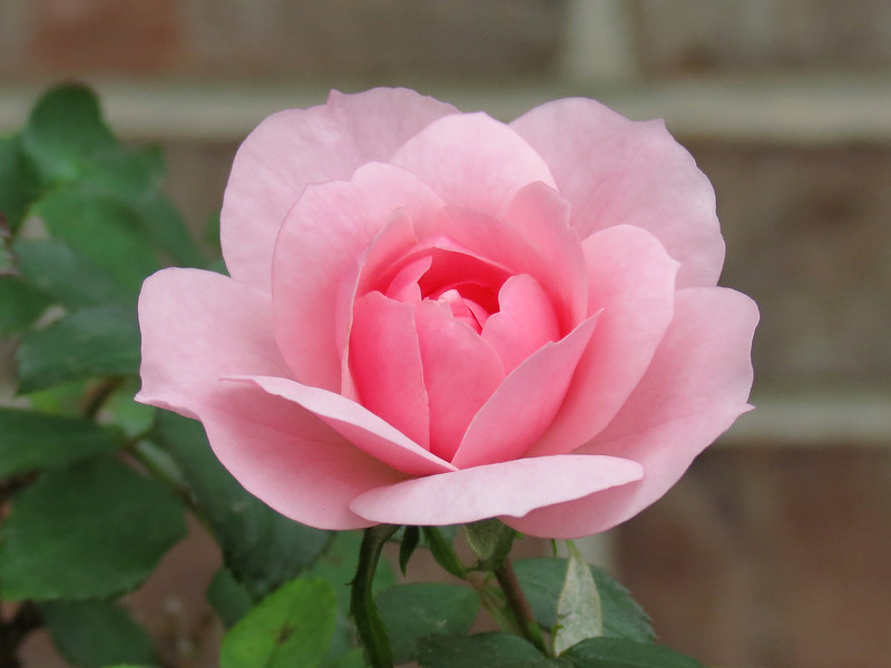 One of the pink roses out front.<br /> Taken on a warm but dark and cloudy<br /> afternoon on October 22.