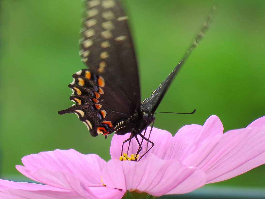 Black Swallowtail butterfly on pink Cosmos.
