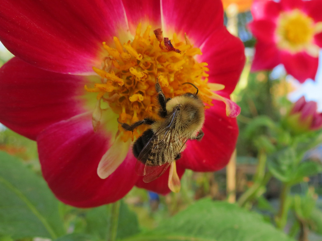 Bumble bee and red Dahlia on October 20