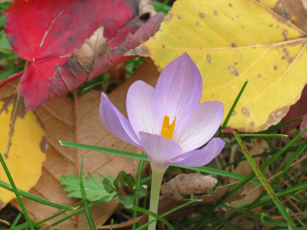 Another of the fall blooming lavender Crocus on October 21.