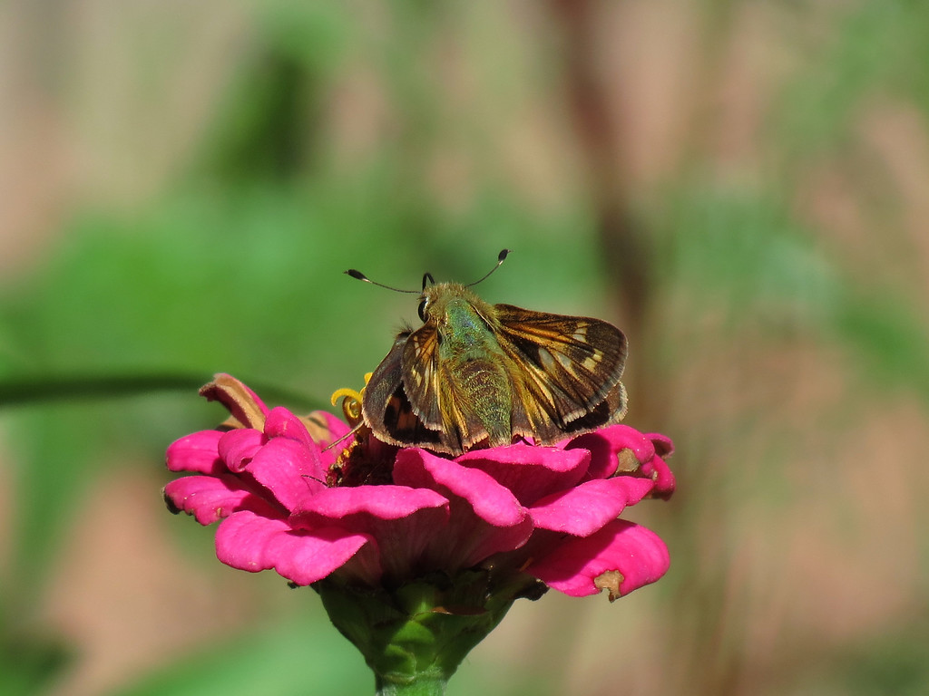 I thought that I had counted over a million photos of this little<br /> Skipper Butterfly and after I snapped this one, I came into the house<br /> and counted them again (just to make sure) and yep, there are over a million.<br /> You just can't have too many butterfly pictures.