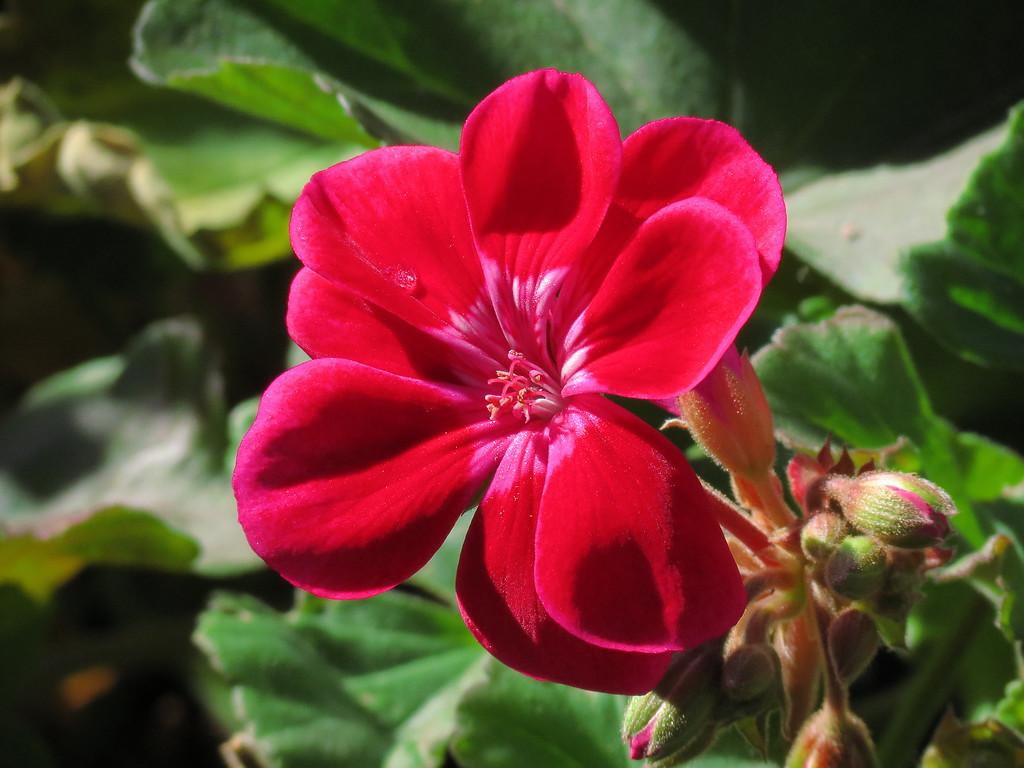 Red Geranium on November 6.