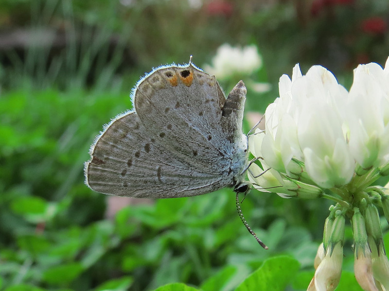 Small Hairstreak Butterfly laying eggs on white clover on a warm and windy October 24.
