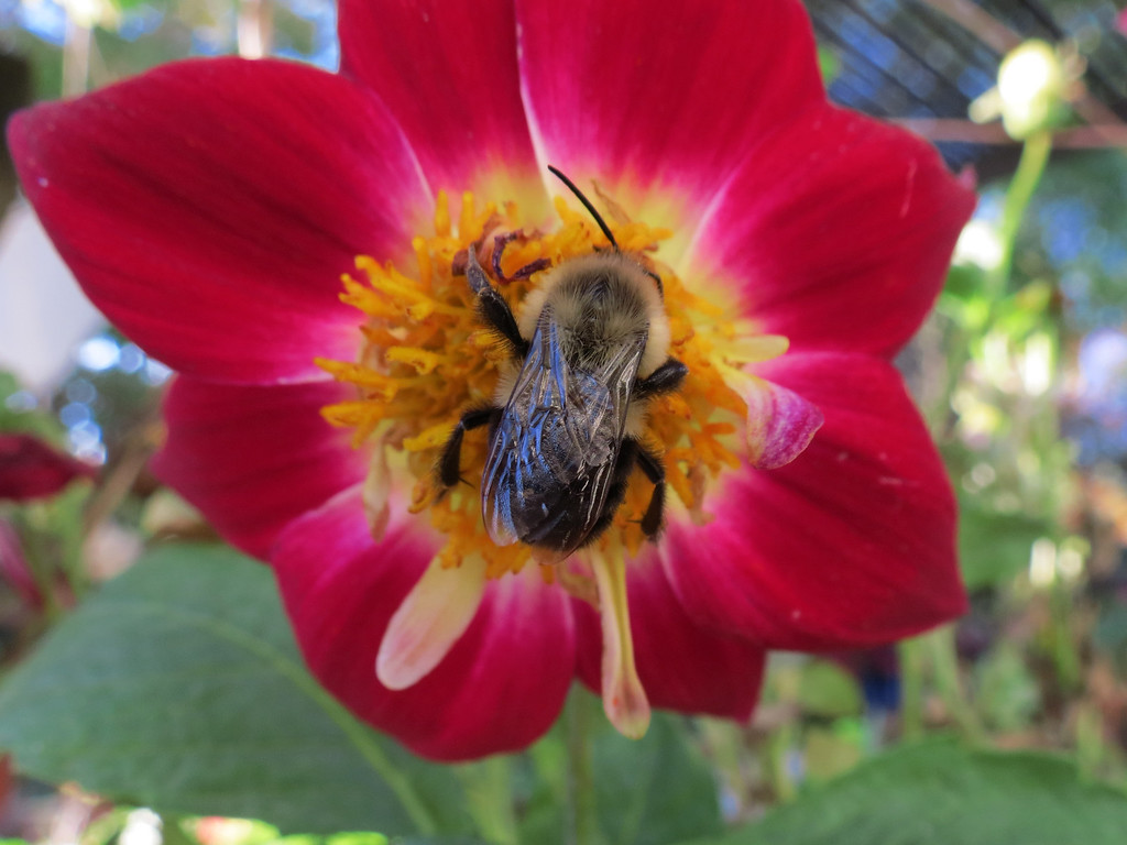 Bumble bee and red Dahlia on October 20.