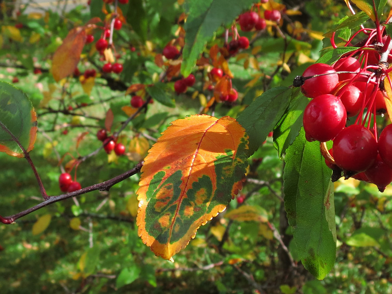 The Crab Apple tree is starting to pull<br /> all of the chlorophyll out of its leaves in October.
