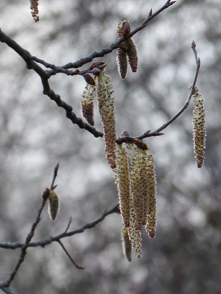Catkins in the Bigtooth Aspen tree.<br /> This was shot into the sun as it was setting.