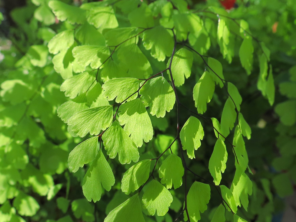 Delicate Maidenhair Fern.