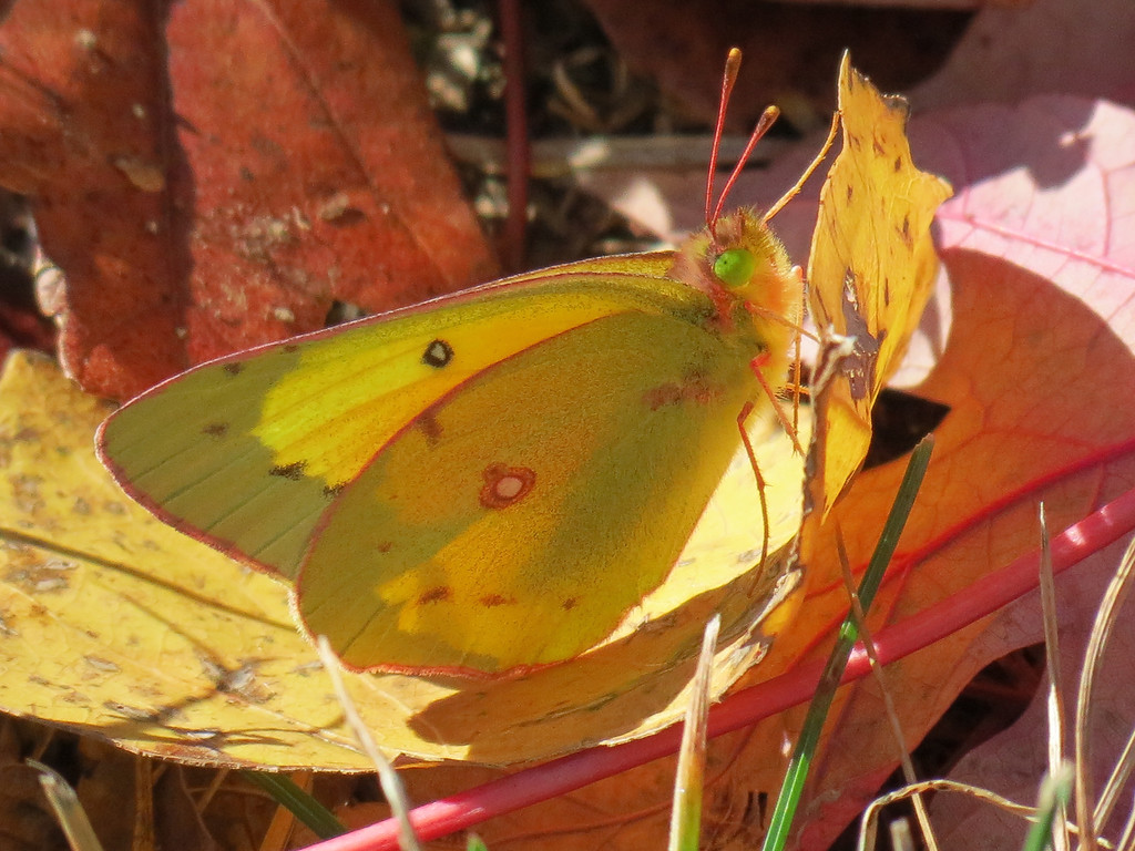 -- Yellow Butterfly on Yellow Leaf --