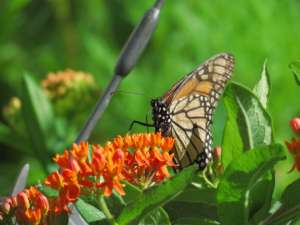 Monarch butterfly on the asclepias with the sundial on the left.