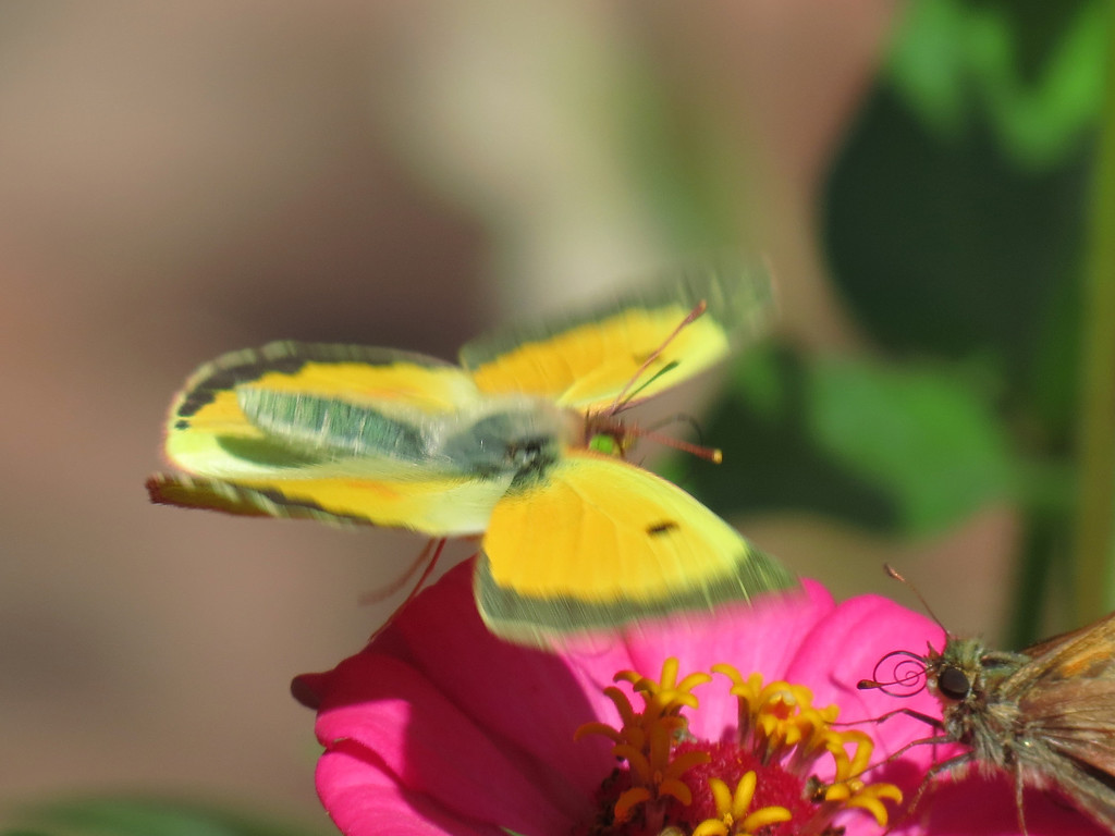The green-eyed Butterfly and a little Skipper Butterfly<br /> claiming the same pink Zinnia -- the Skipper won.