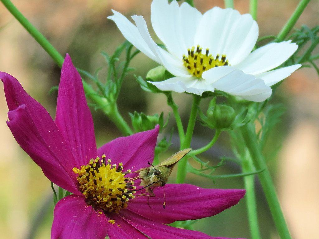 Purple and white Cosmos.